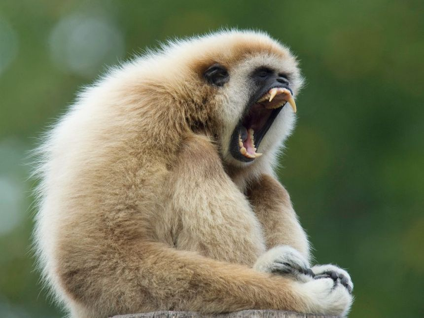 gibbon-singing-techniques-opera-singers_58611_990x742